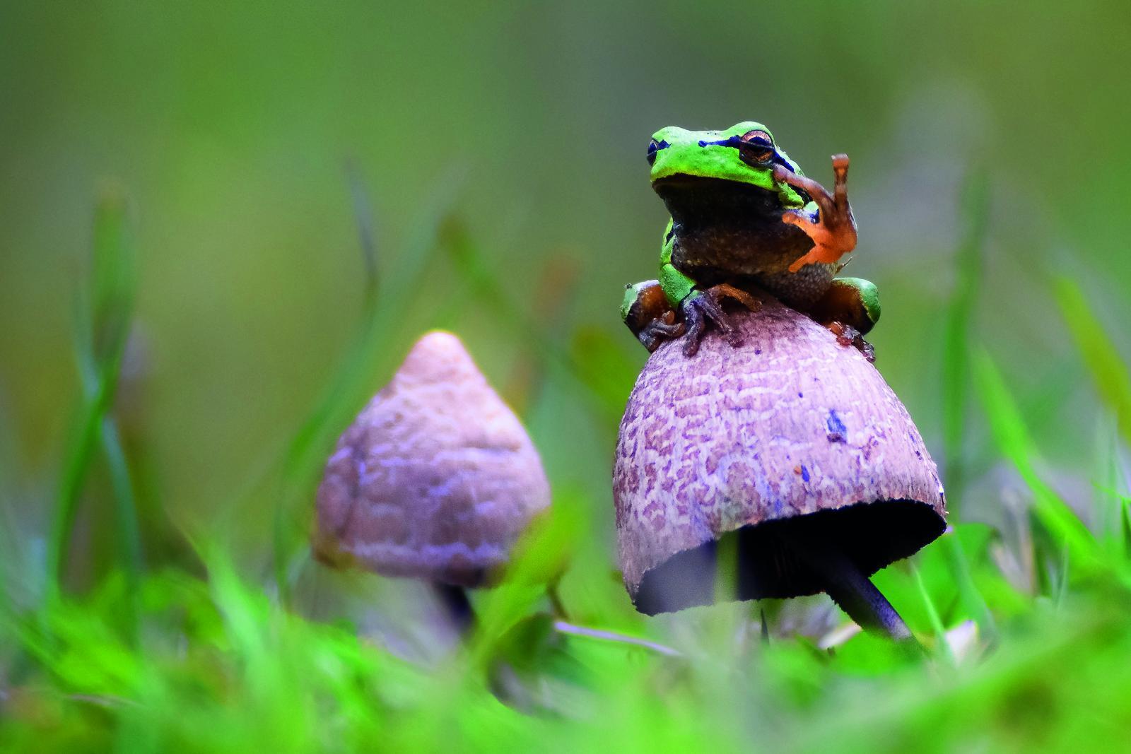 "Gabriel Ozon: ""European Tree Frog (Hyla arborea)"""