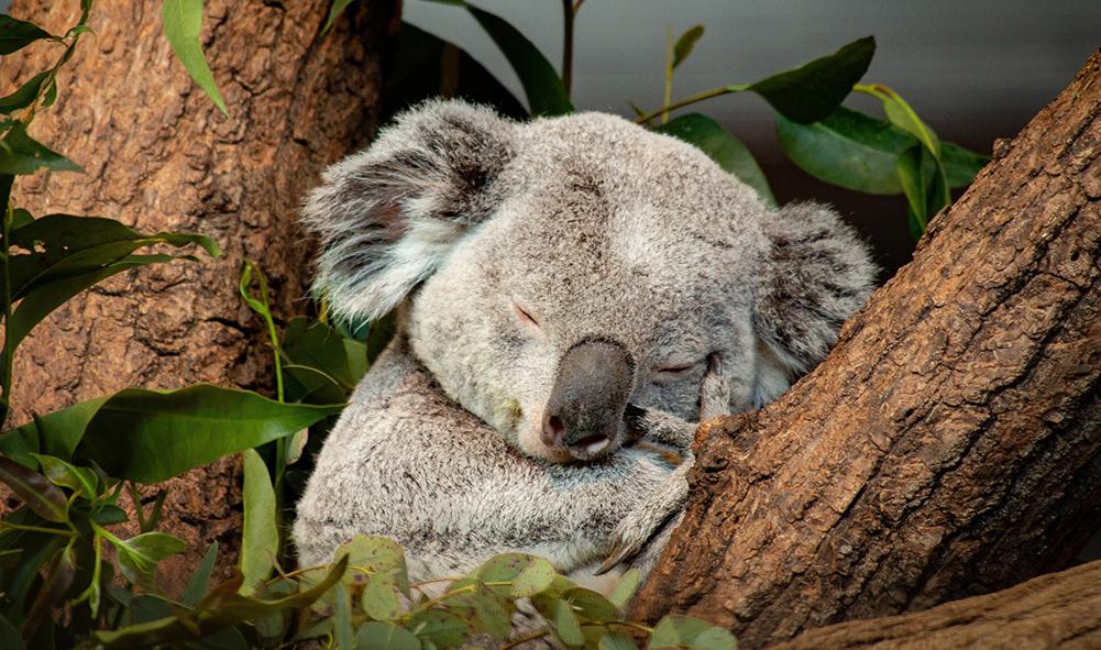 """Der """"Sleeping Koala"""" von Ralph Haldimann ist das Leitbild des diesjährigen CEWE Photo Award."""